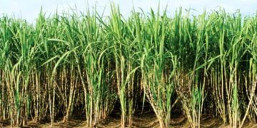 A call to rethink the sugarcane sub-sector to address rural poverty in Uganda